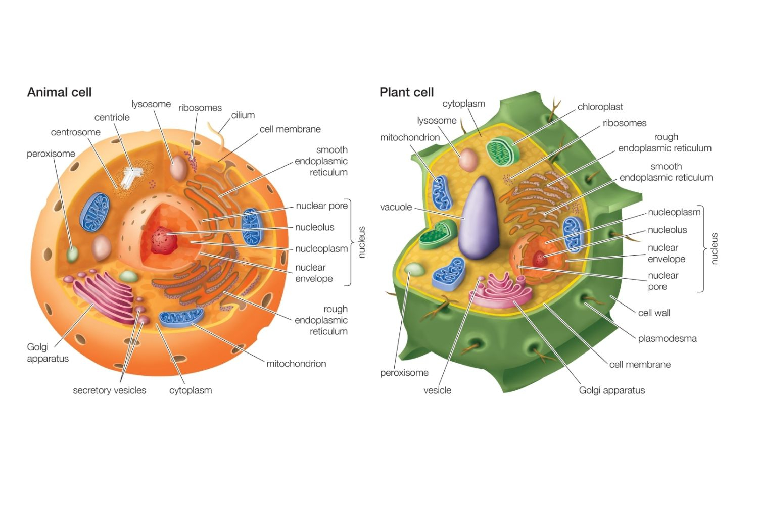 Animal Cell Diagram Differences Between Plant And Animal Cells