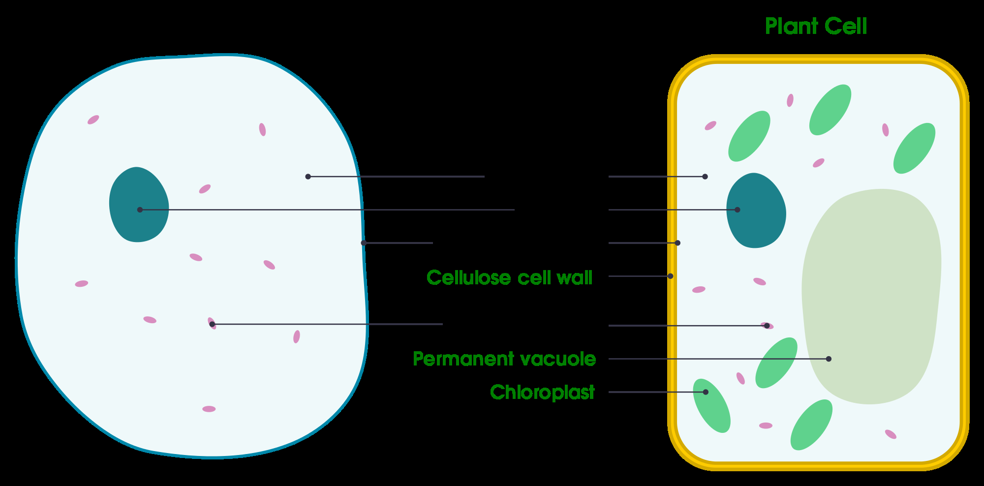 A Labeled Diagram Of The Plant Cell And Functions Of Its Manual Guide