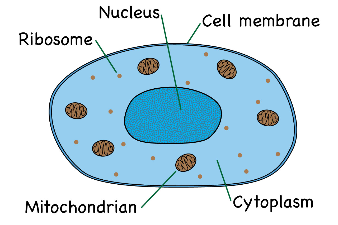 Animal Cell Diagram What Is An Animal Cell Facts Pictures Info For Kids Students