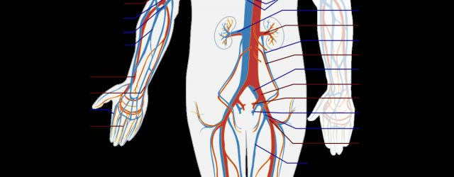 Arteries And Veins Diagram Blood Vessel Wikipedia