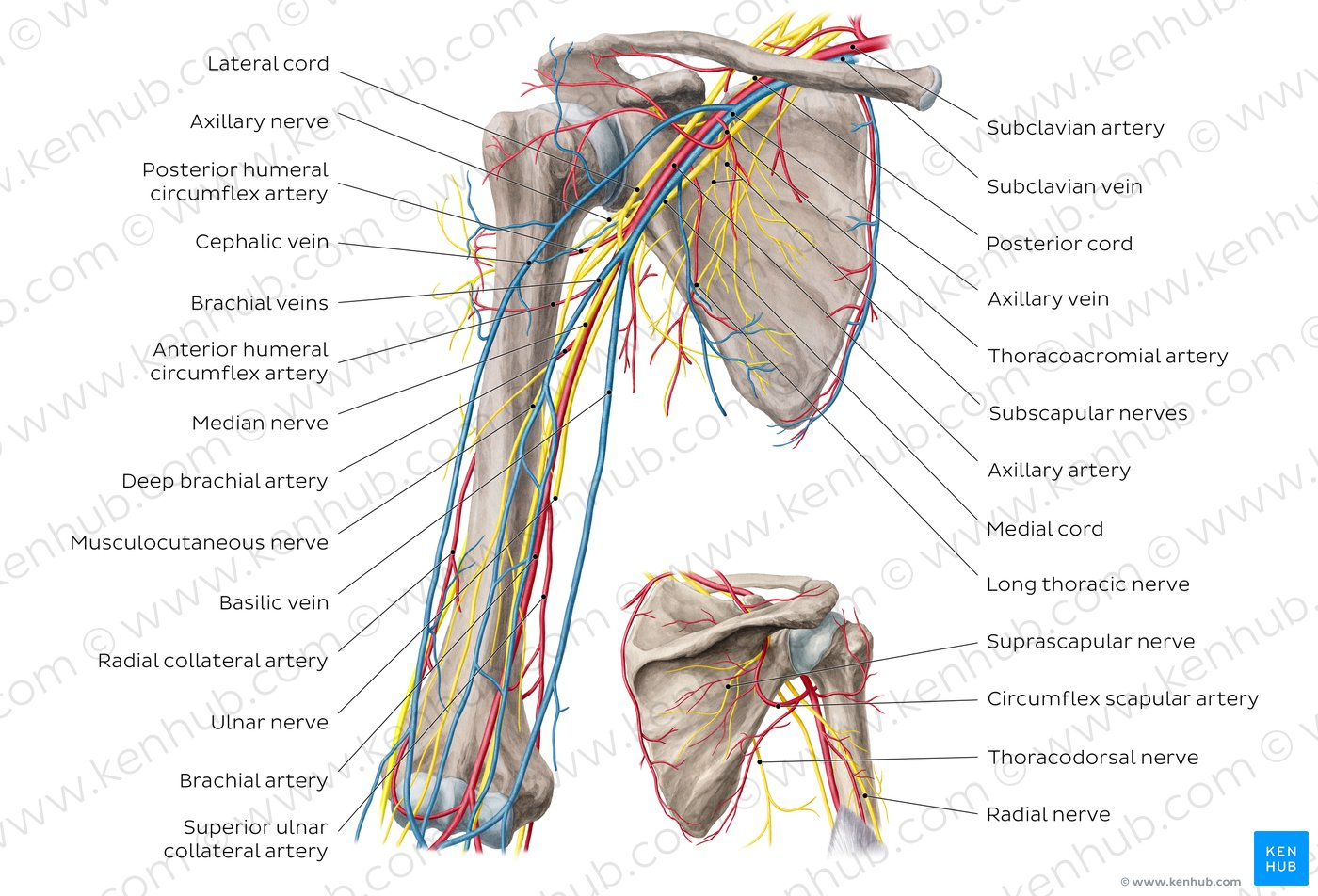 Arteries And Veins Diagram Diagram Pictures Neurovasculature Of The Arm And The Shoulder