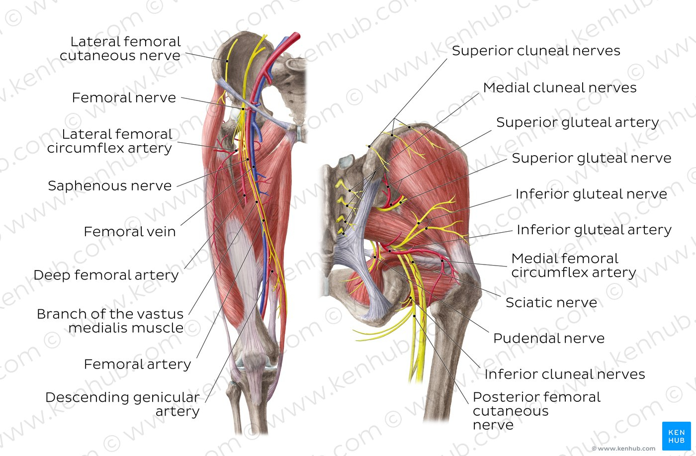 Arteries And Veins Diagram Diagram Pictures Neurovasculature Of The Hip And The Thigh