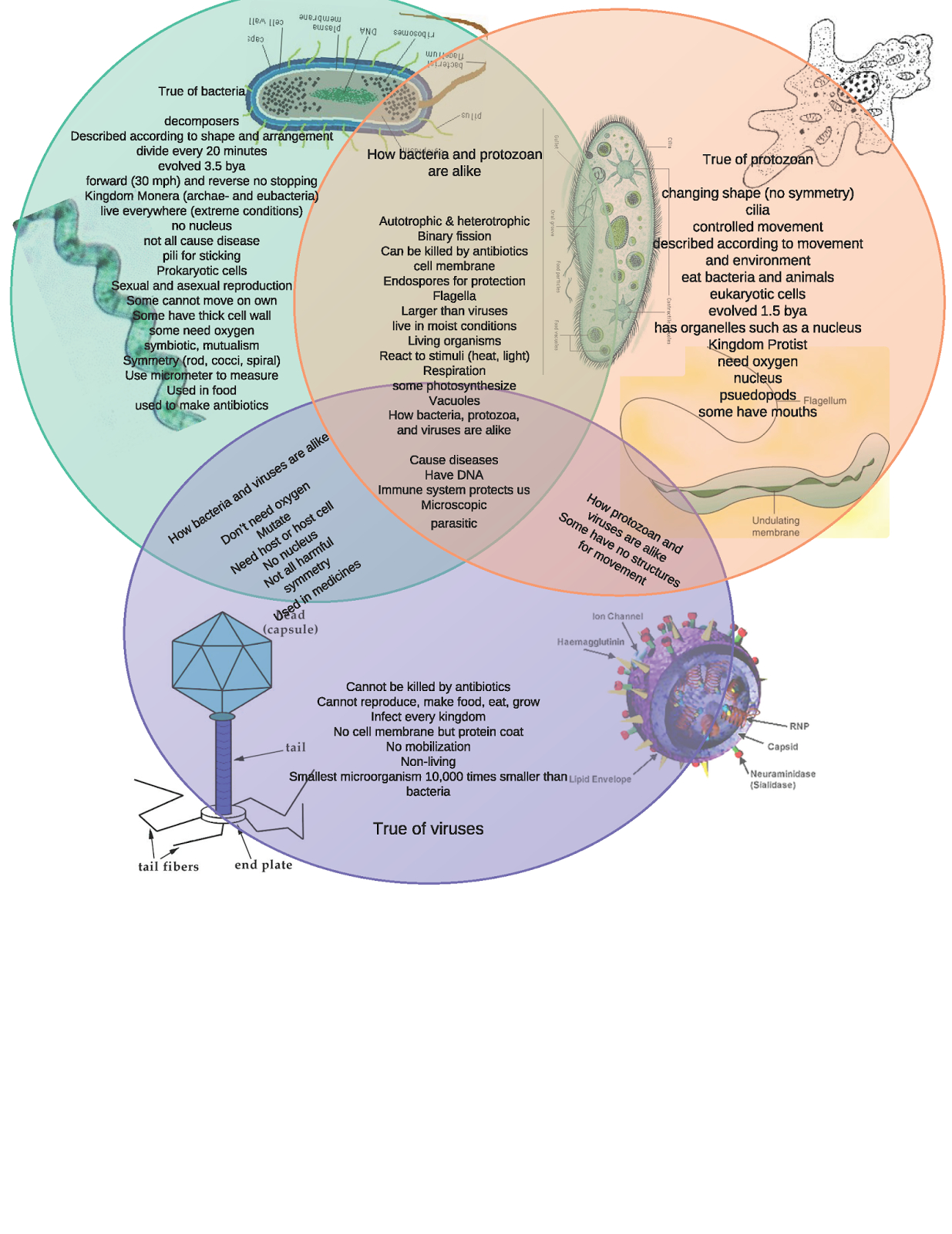 Bacteria And Virus Venn Diagram 29 Cells Vs Viruses Venn Diagram Answers Viruses Vs Venn Diagram