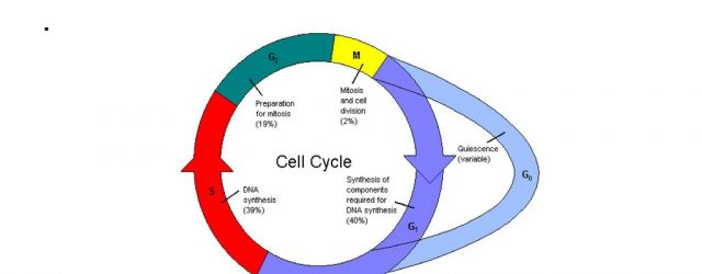 Cell Cycle Diagram Cell Cycle Diagram Ppt Download