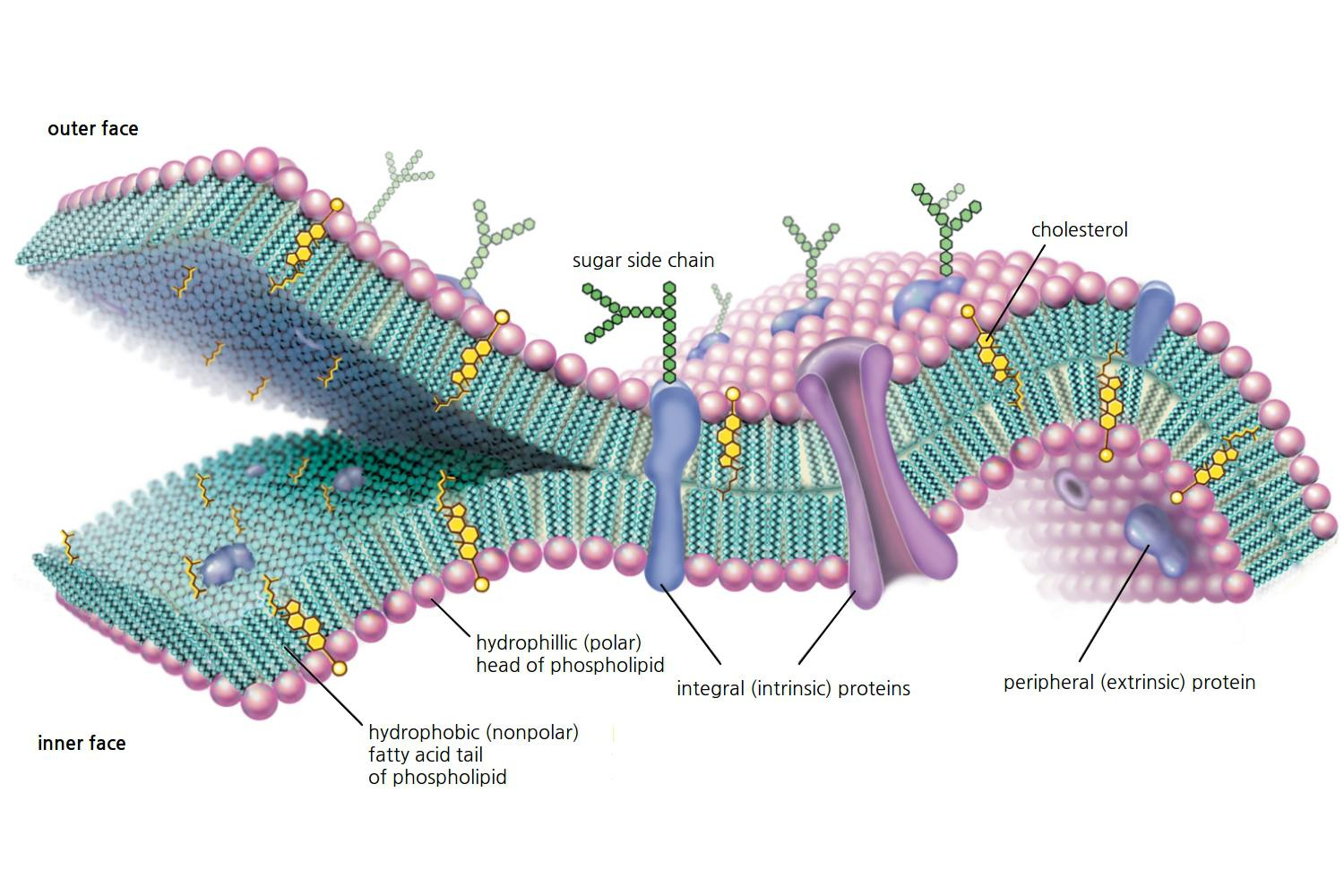 Cell Membrane Diagram Cell Membrane Function And Structure