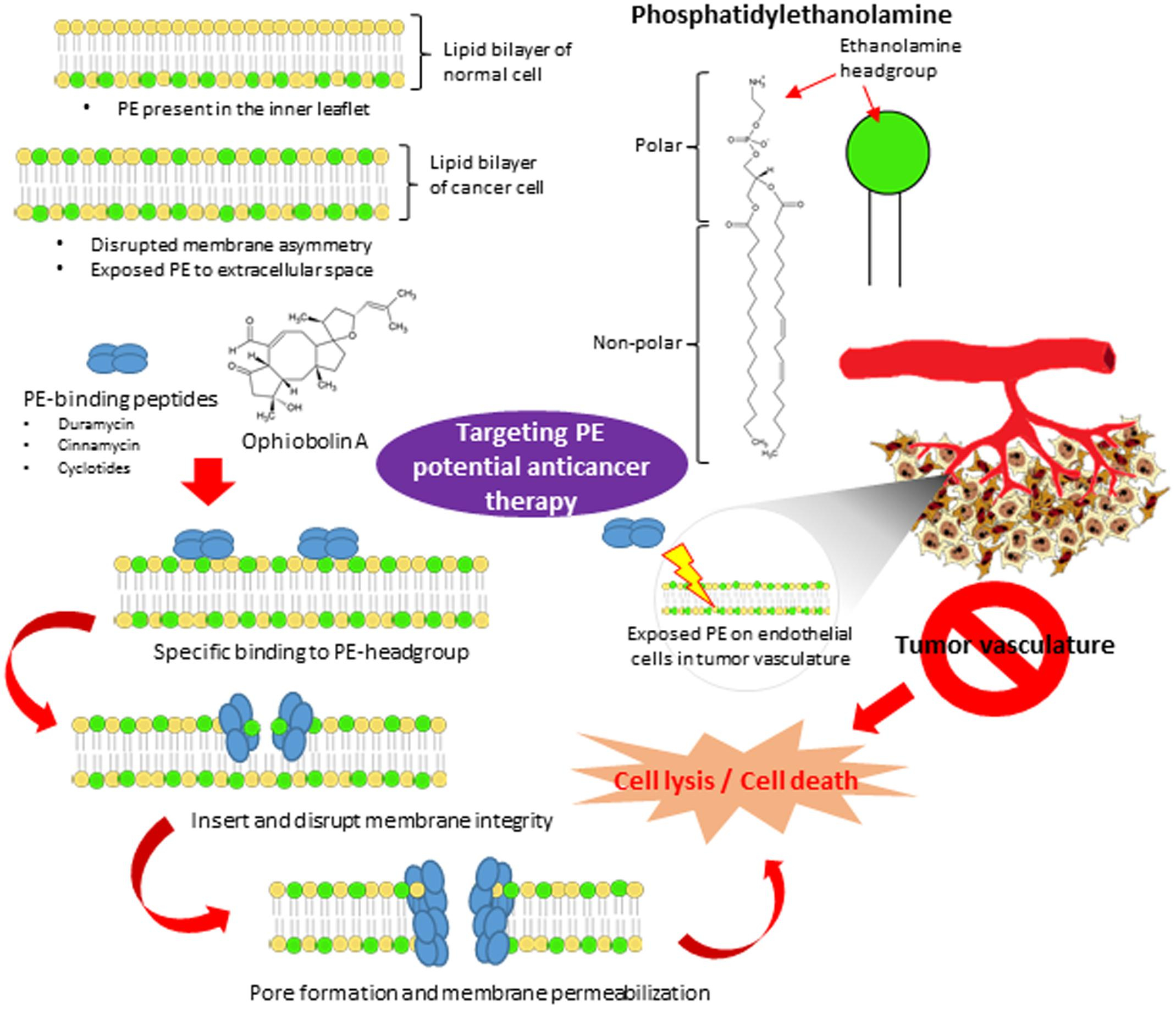 Cell Membrane Diagram Frontiers Targeting Membrane Lipid A Potential Cancer Cure