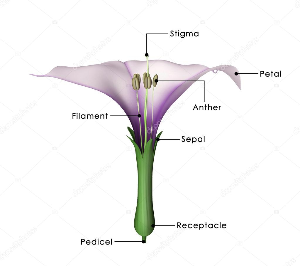 Diagram Of A Flower Datura Plant Diagram Datura Flower Diagram Stock Photo