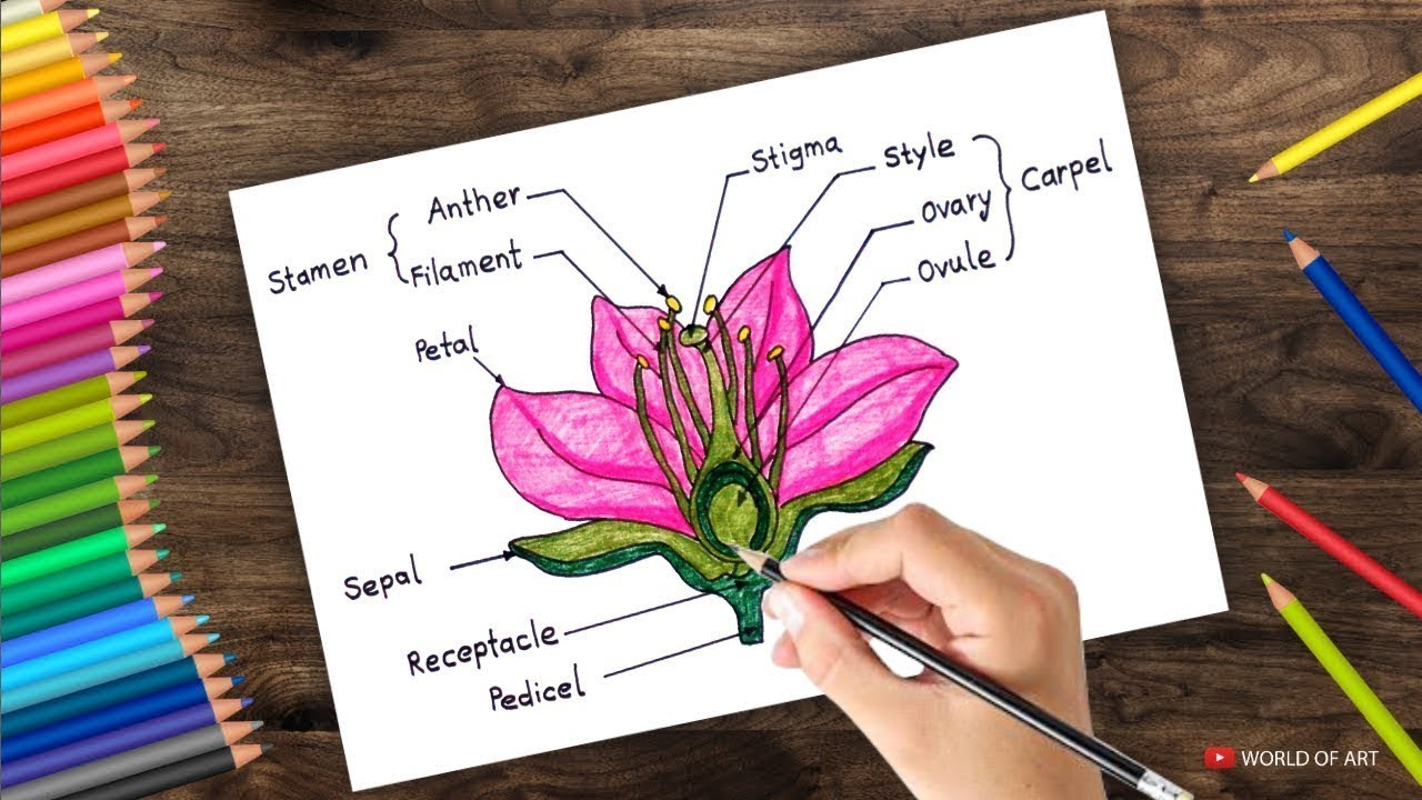 Diagram Of A Flower How To Draw Cross Section Of Flower Step Step