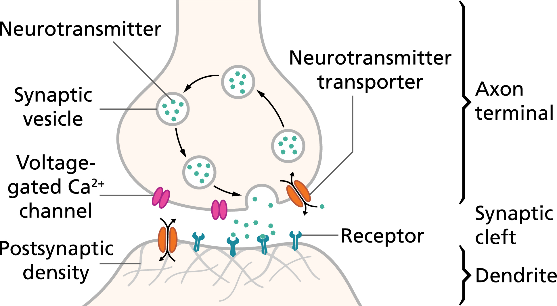 Diagram Of A Neuron Action Potentials And Synapses Queensland Brain Institute