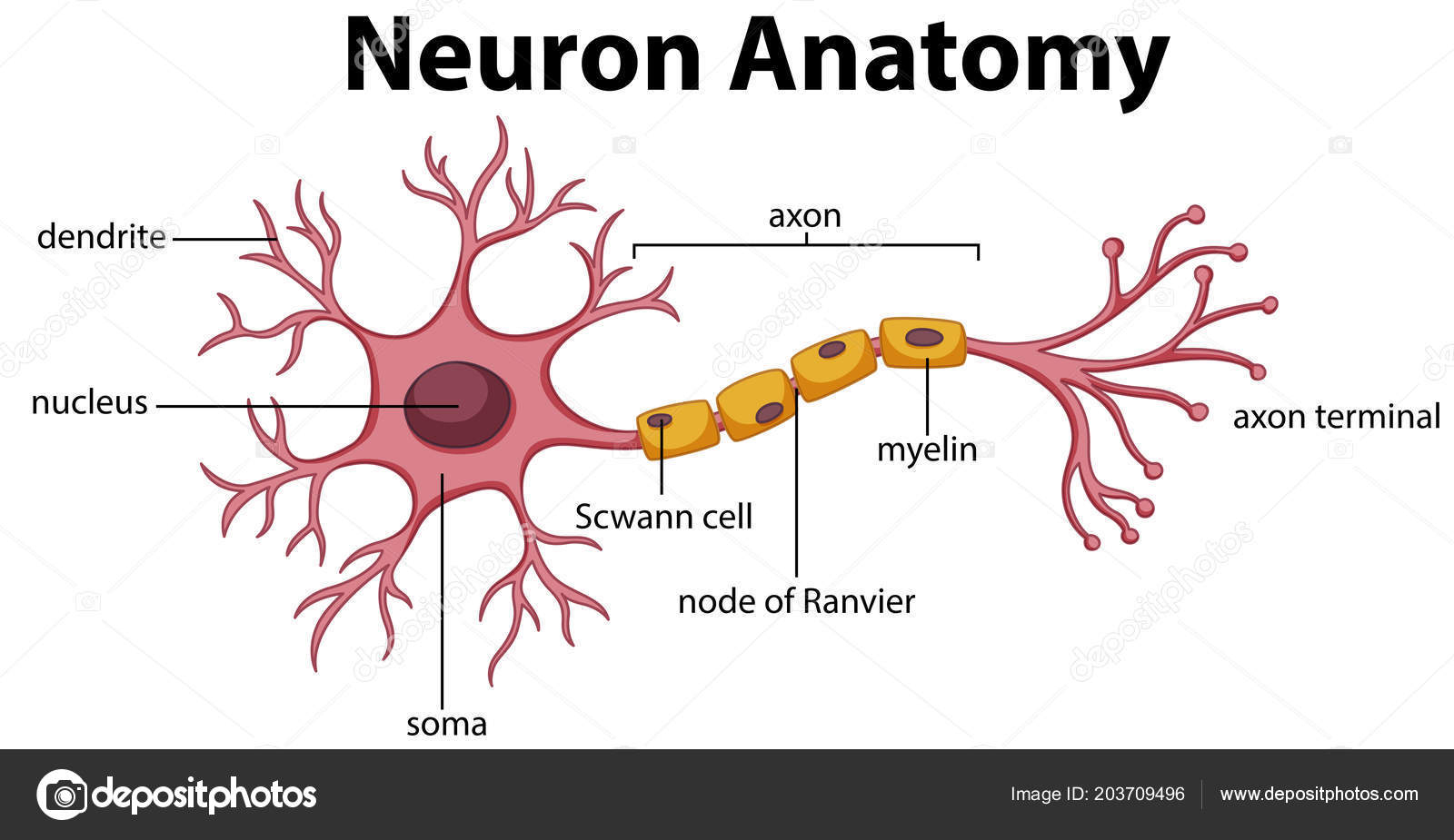 Diagram Of A Neuron Diagram Neuron Anatomy Illustration Stock Vector Interactimages