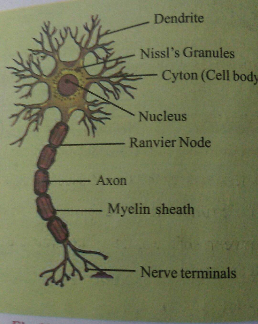 Diagram Of A Neuron Draw A Labelled Diagram Of A Neuron Brainlyin