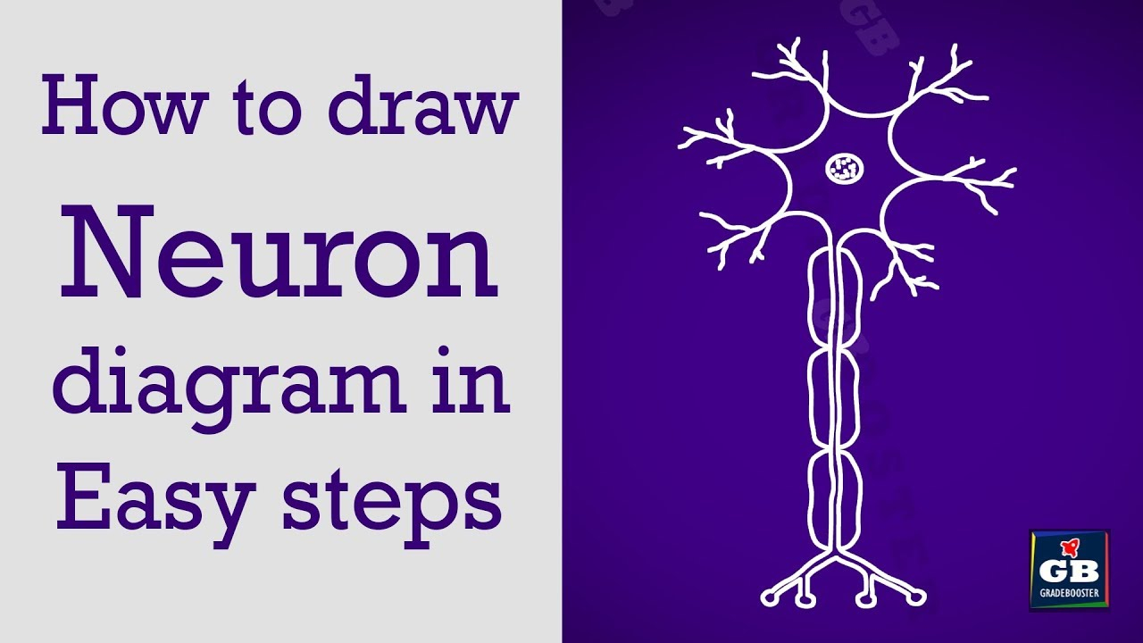 Diagram Of A Neuron How To Draw Neuron In Easy Steps Control Coordination 10 Biology Cbse Ncert Class 10 Science