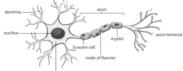 Diagram Of A Neuron How To Draw Structure Of Neuronneuron Diagram Labelleddiagram Of Neuronneuron Cell