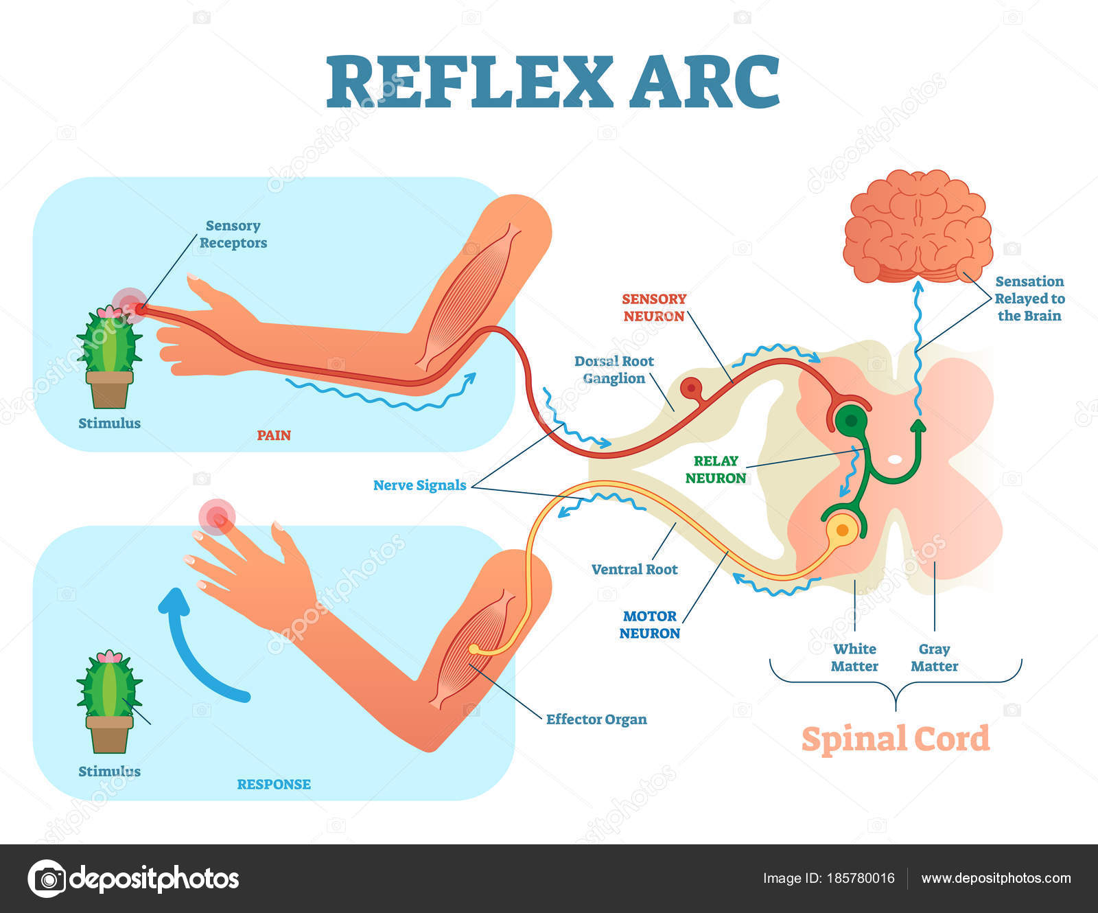 Diagram Of A Neuron Ihotos Reflex Arc Spinal Reflex Arc Anatomical Scheme Vector