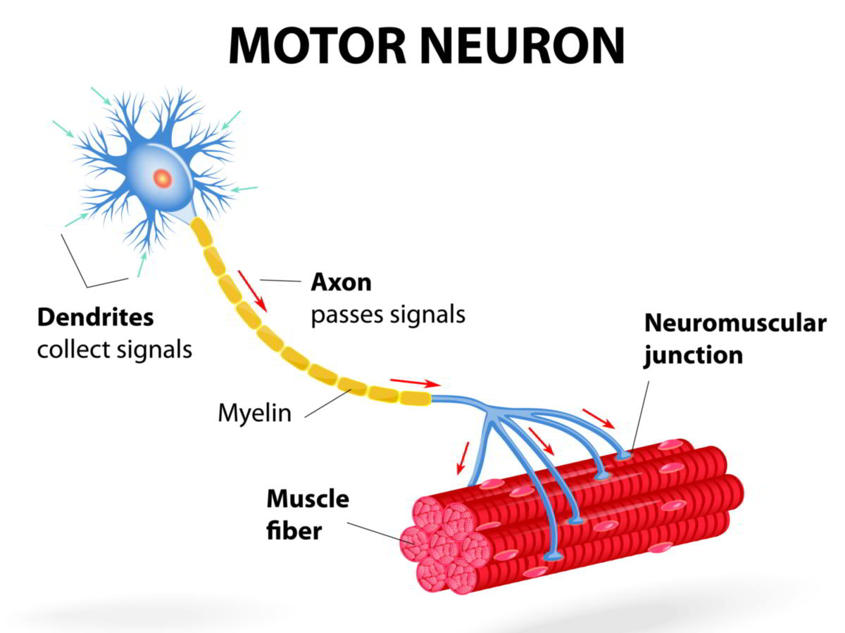 Diagram Of A Neuron Location Structure And Functions Of Motor Neurons