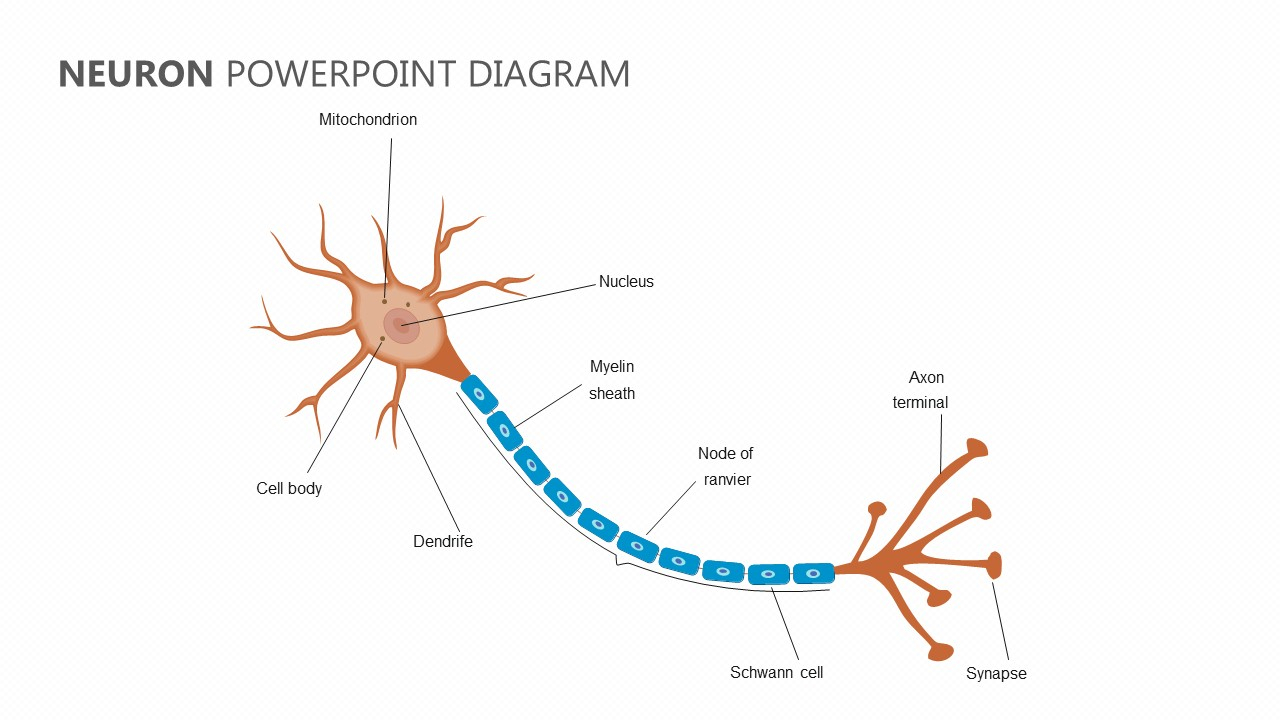 Diagram Of A Neuron Neuron Powerpoint Diagram Pslides