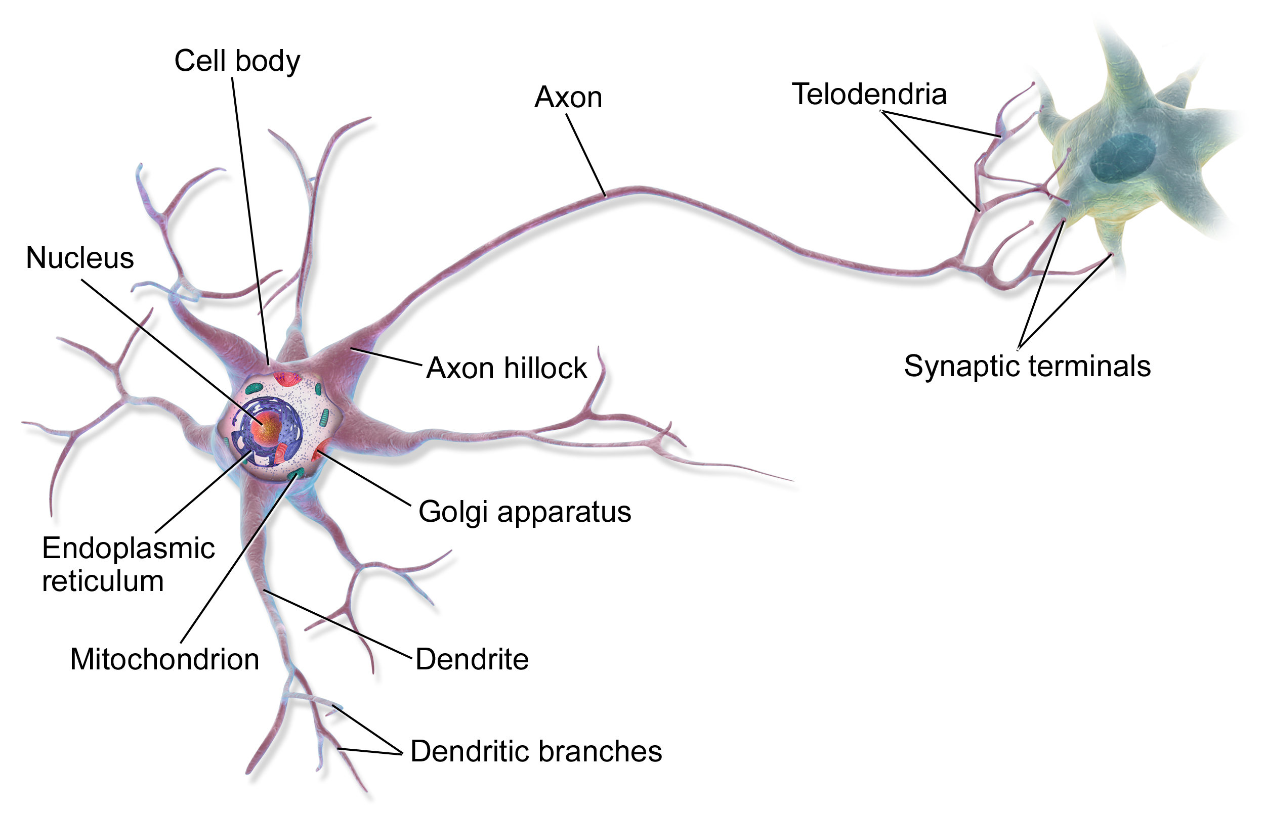 Diagram Of A Neuron Neuron Wikipedia