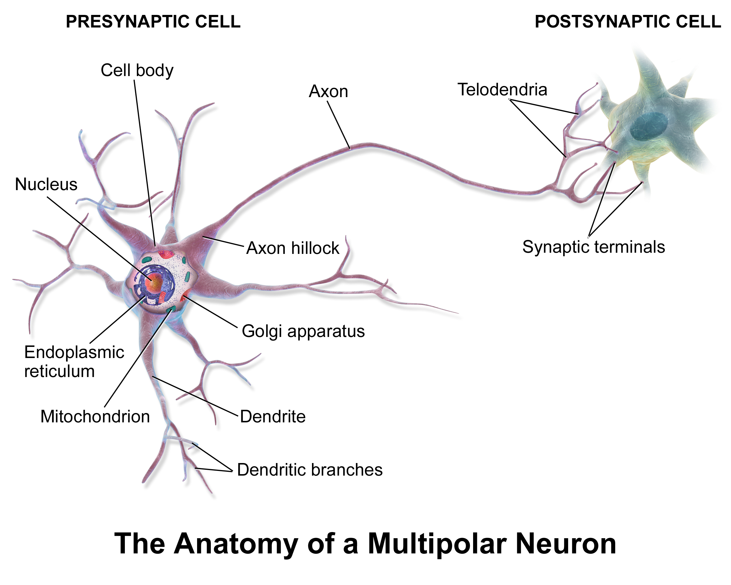 Diagram Of A Neuron Neurons Where Does Their Electricity Come From
