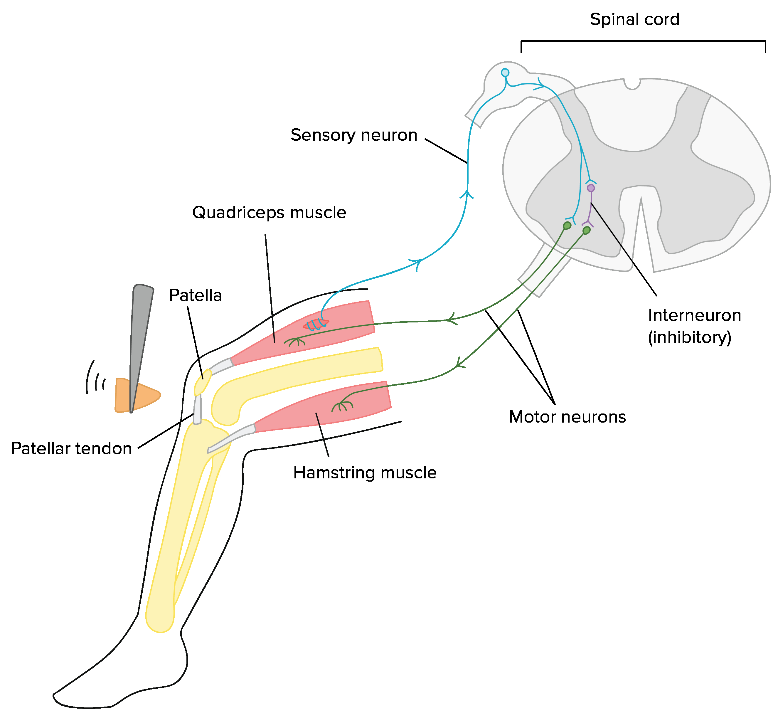 Diagram Of A Neuron Overview Of Neuron Structure And Function Article Khan Academy