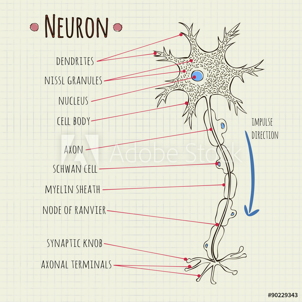Diagram Of A Neuron Photo Art Print Vector Illustration Neuron Chart Europosters