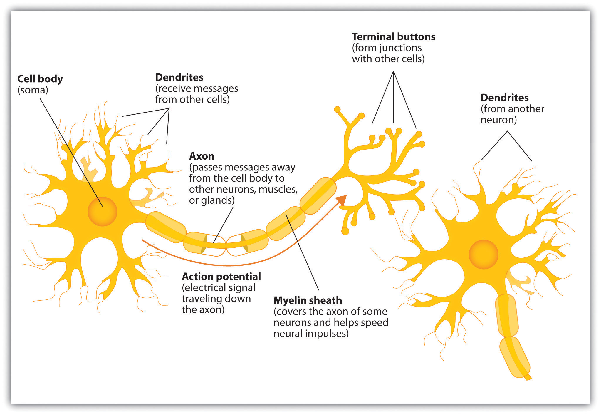 Diagram Of A Neuron The Neuron Is The Building Block Of The Nervous System