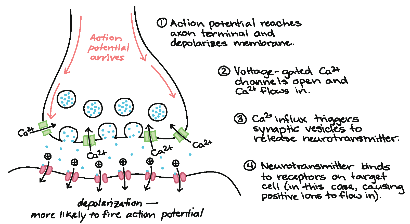 Diagram Of A Neuron The Synapse Article Human Biology Khan Academy
