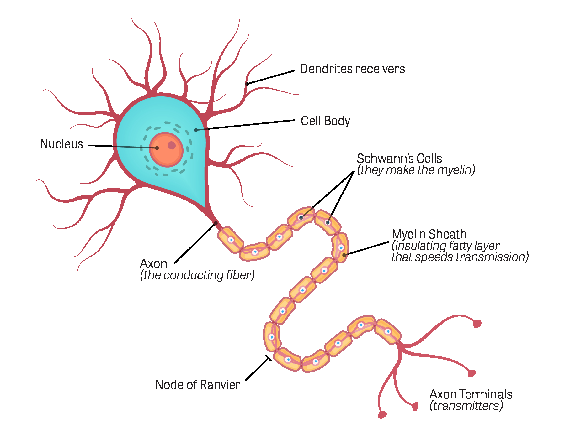 Diagram Of A Neuron Toxtutor Neurotoxicity