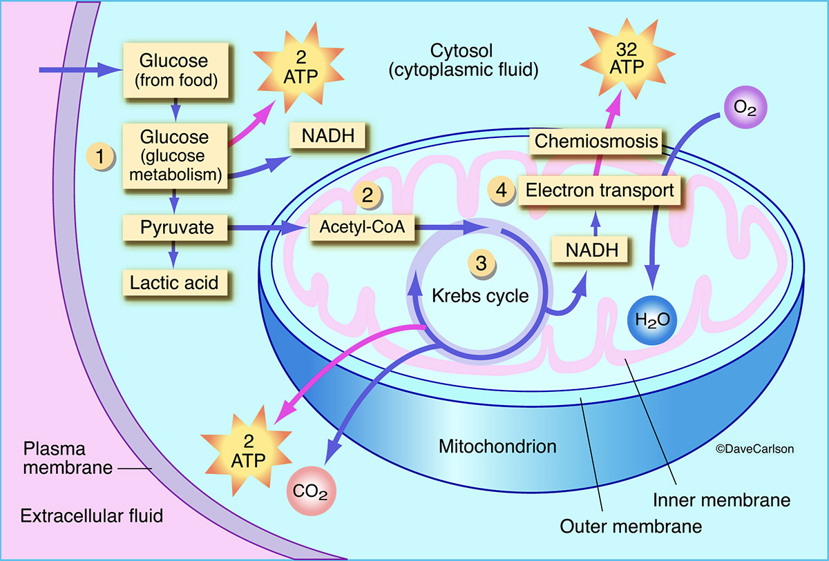 Diagram Of A Plant Cell Aerobic Respiration Carlson Stock Art