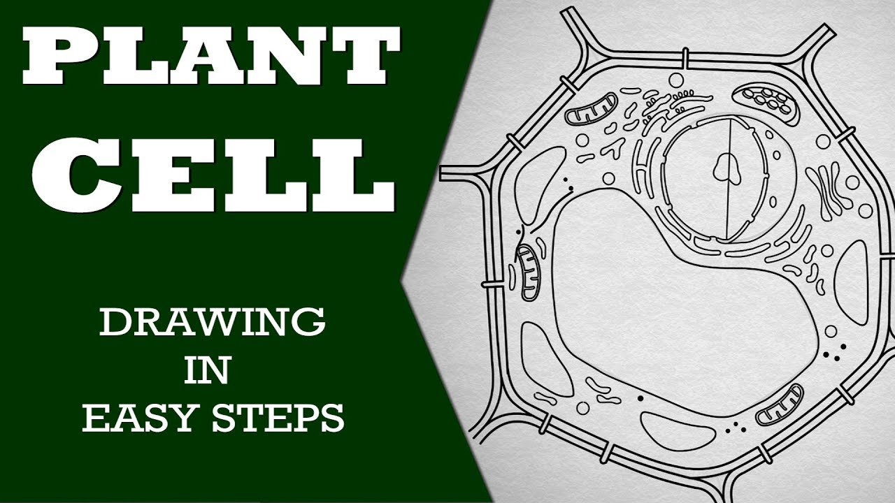 Diagram Of A Plant Cell How To Draw Plant Cell In Easy Steps Fundamental Unit Of Life Ncert Class 9 Biology Cbse Science