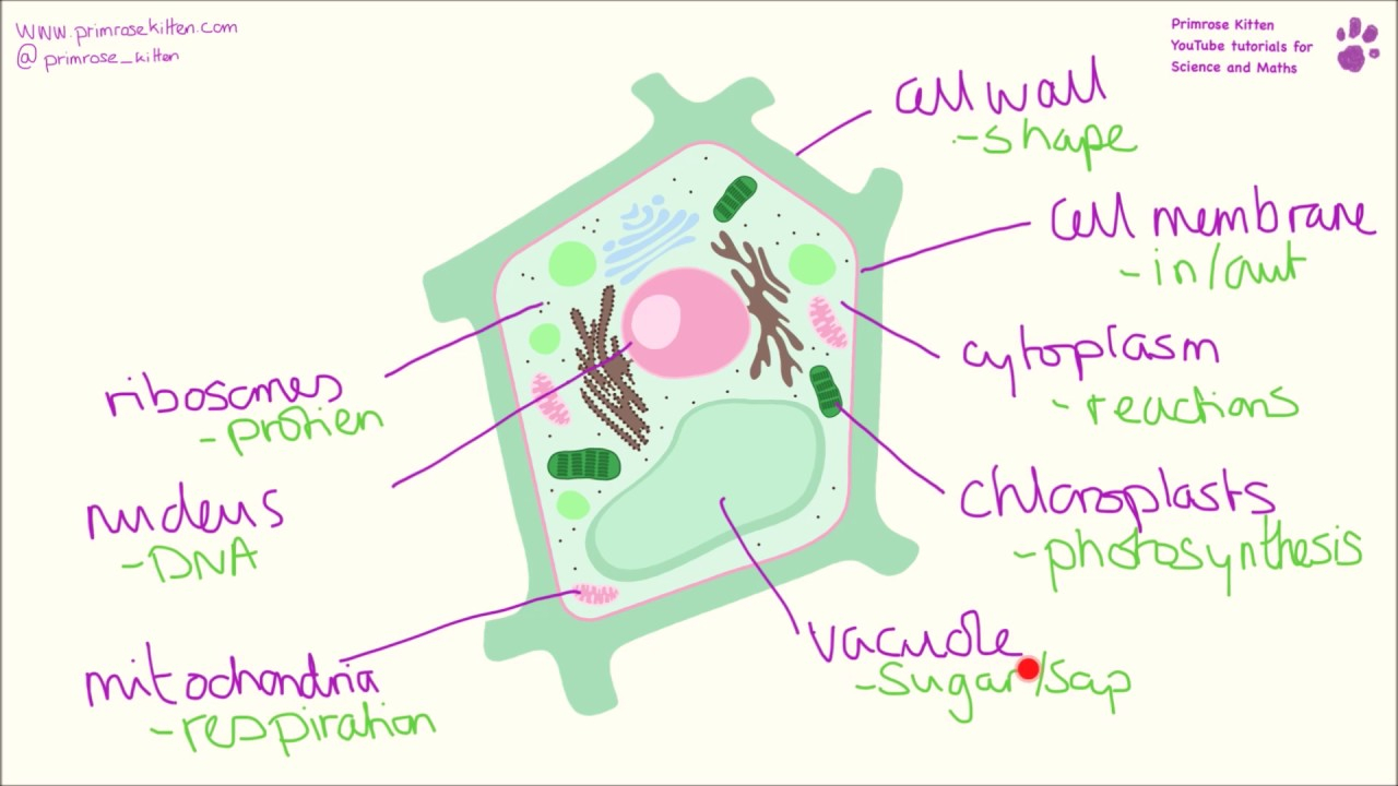 Diagram Of A Plant Cell Labeled Diagram Of The Plant Cell And Functions Of Its Organelles