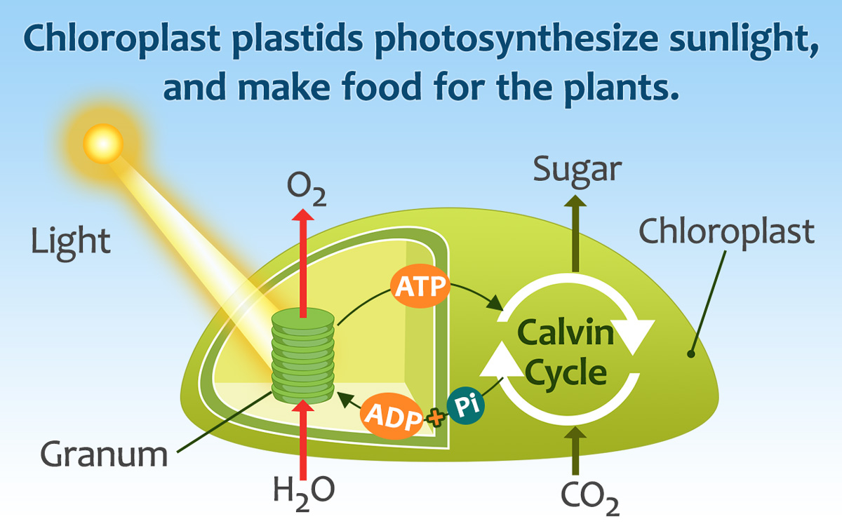 Diagram Of A Plant Cell Plant Cell Parts