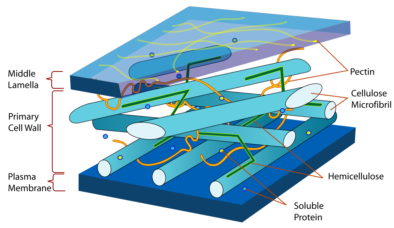 Diagram Of A Plant Cell Plant Cell Wall Diagram Ensvg