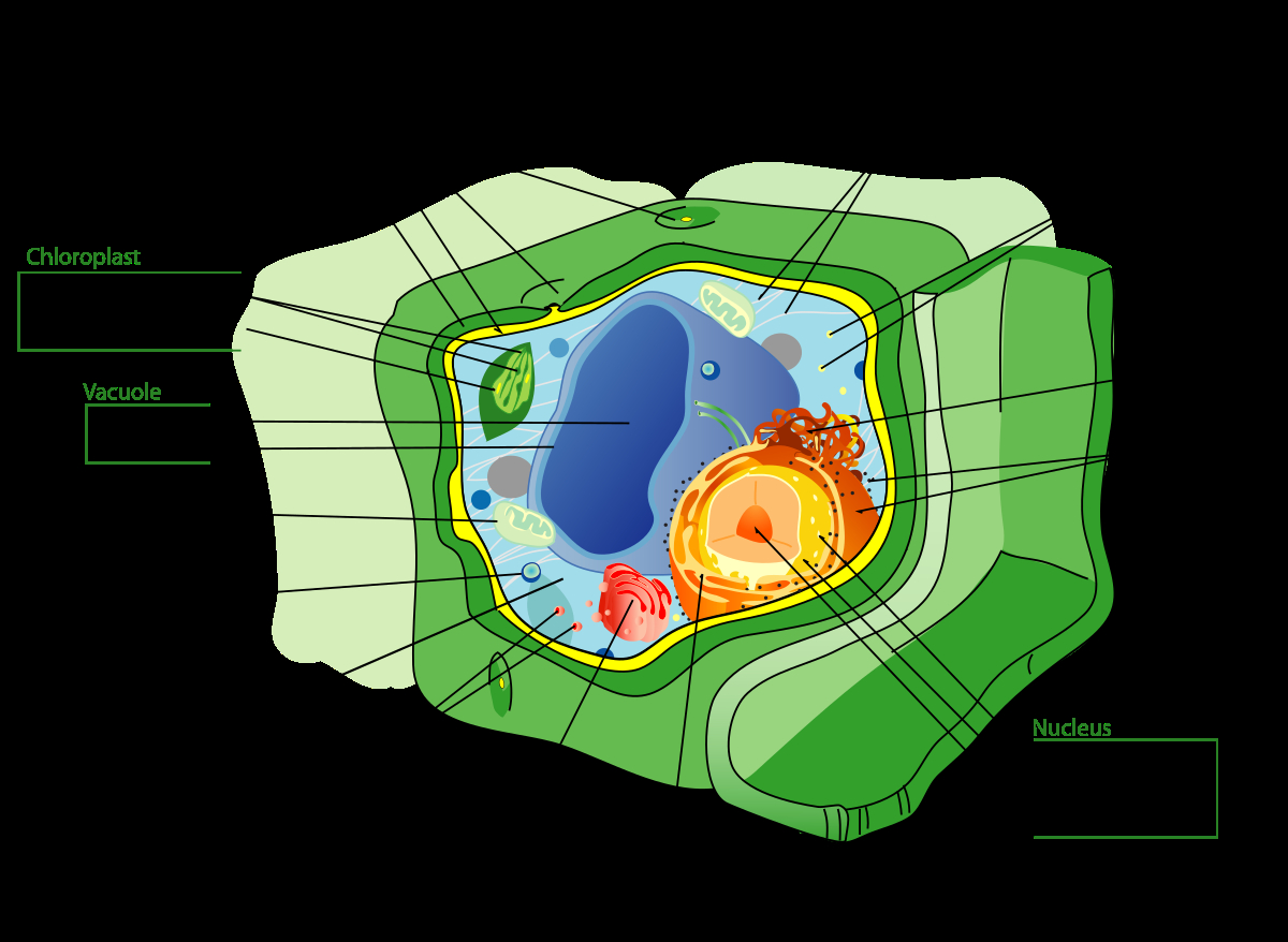 Diagram Of A Plant Cell Plant Cell Wikipedia