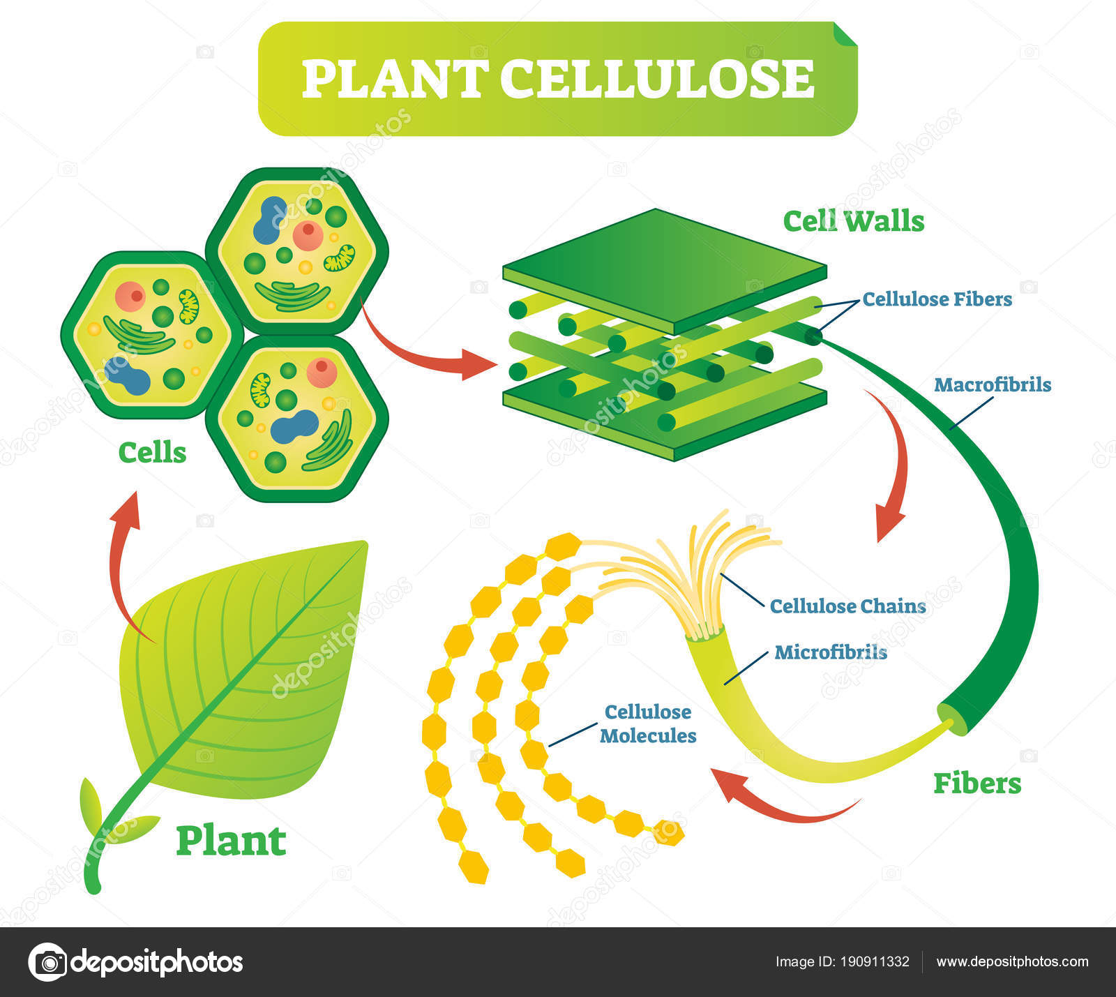 Diagram Of A Plant Cell Plant Cellulose Biology Vector Illustration Diagram Stock Vector