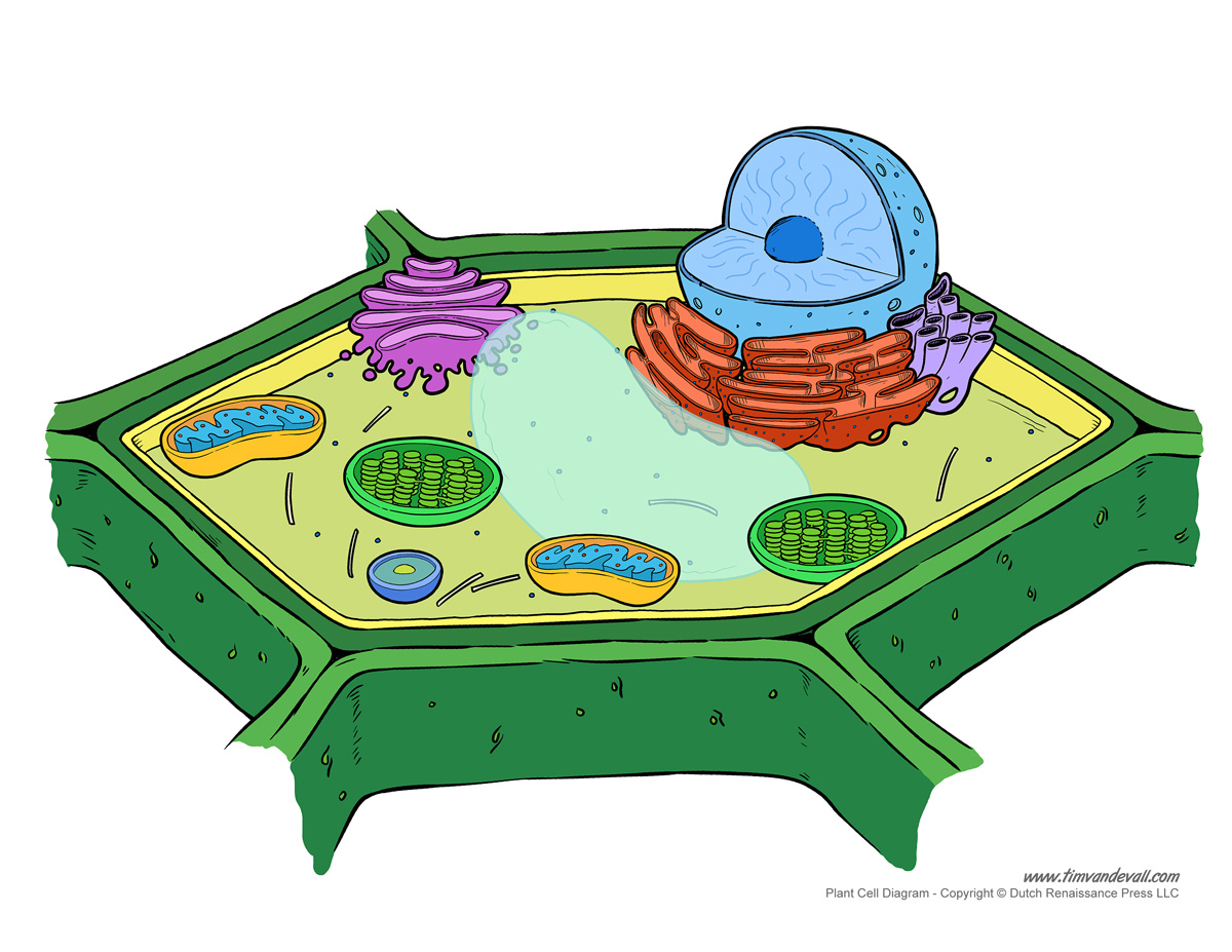 Diagram Of A Plant Cell Printable Plant Cell Diagram Labeled Unlabeled And Blank