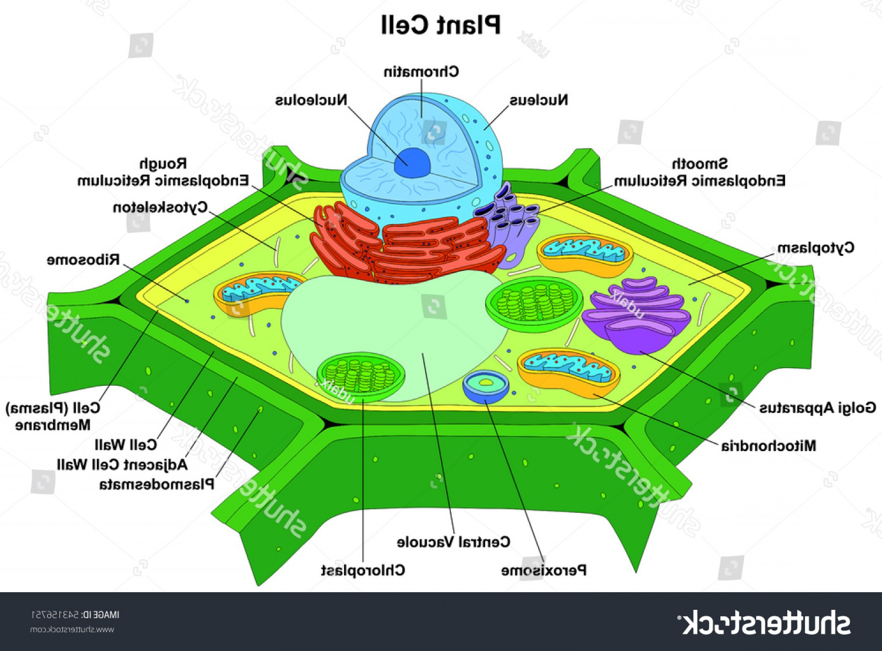 Diagram Of A Plant Cell Vector Plant Cell Anatomy Diagram Structure Catchsplace