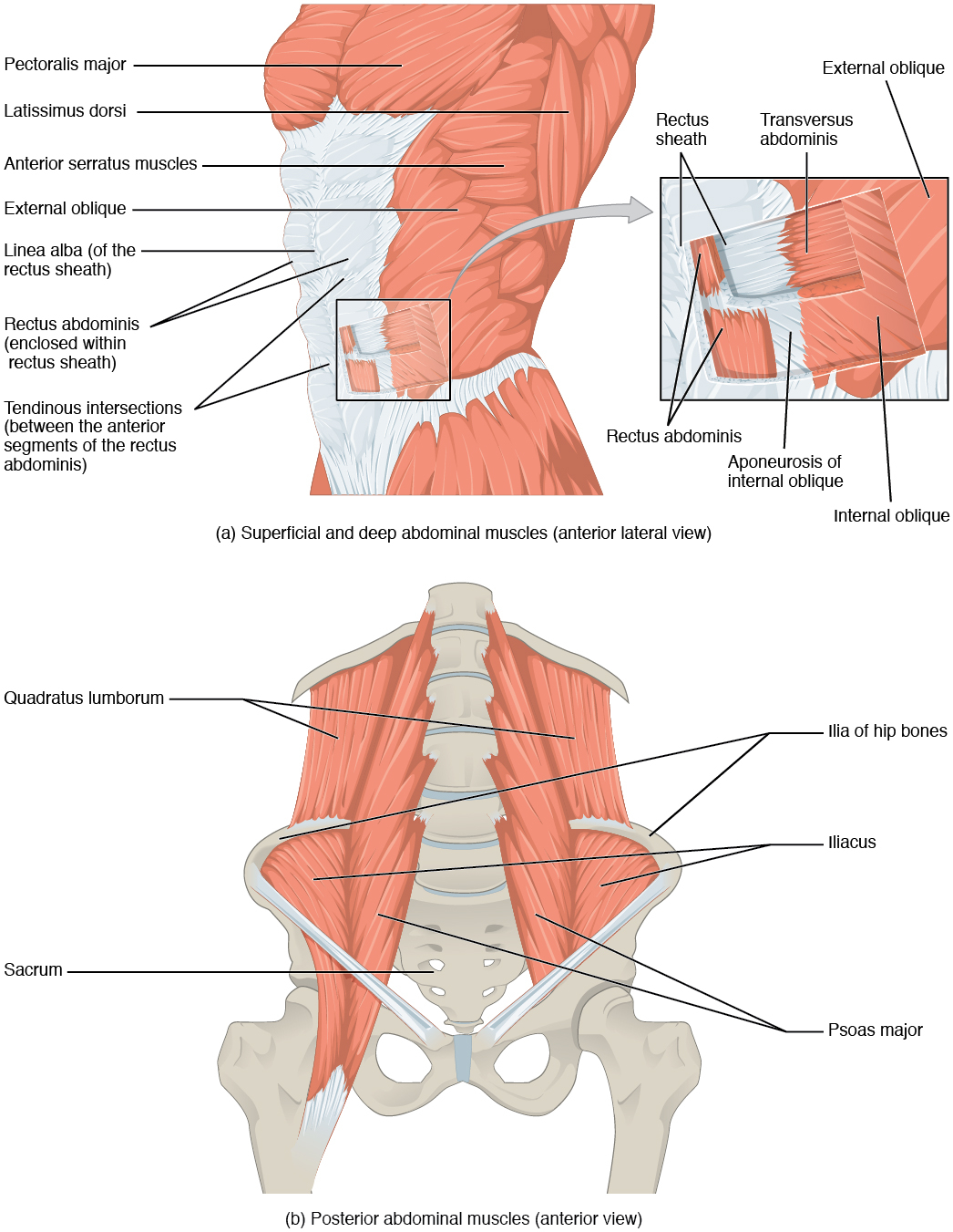 Diagram Of Abdominal Organs 114 Axial Muscles Of The Abdominal Wall And Thorax Anatomy And
