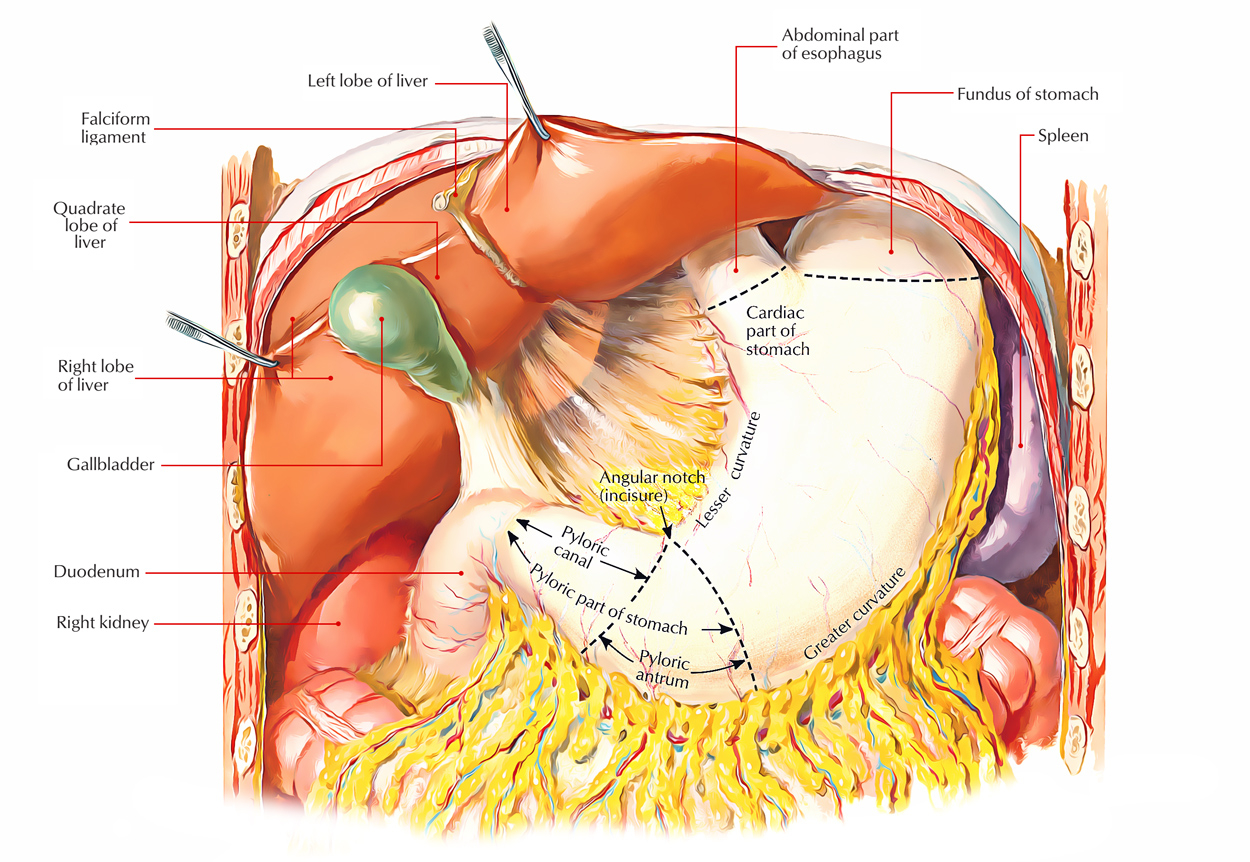 Diagram Of Abdominal Organs Easy Notes On Stomachlearn In Just 4 Minutes Earths Lab