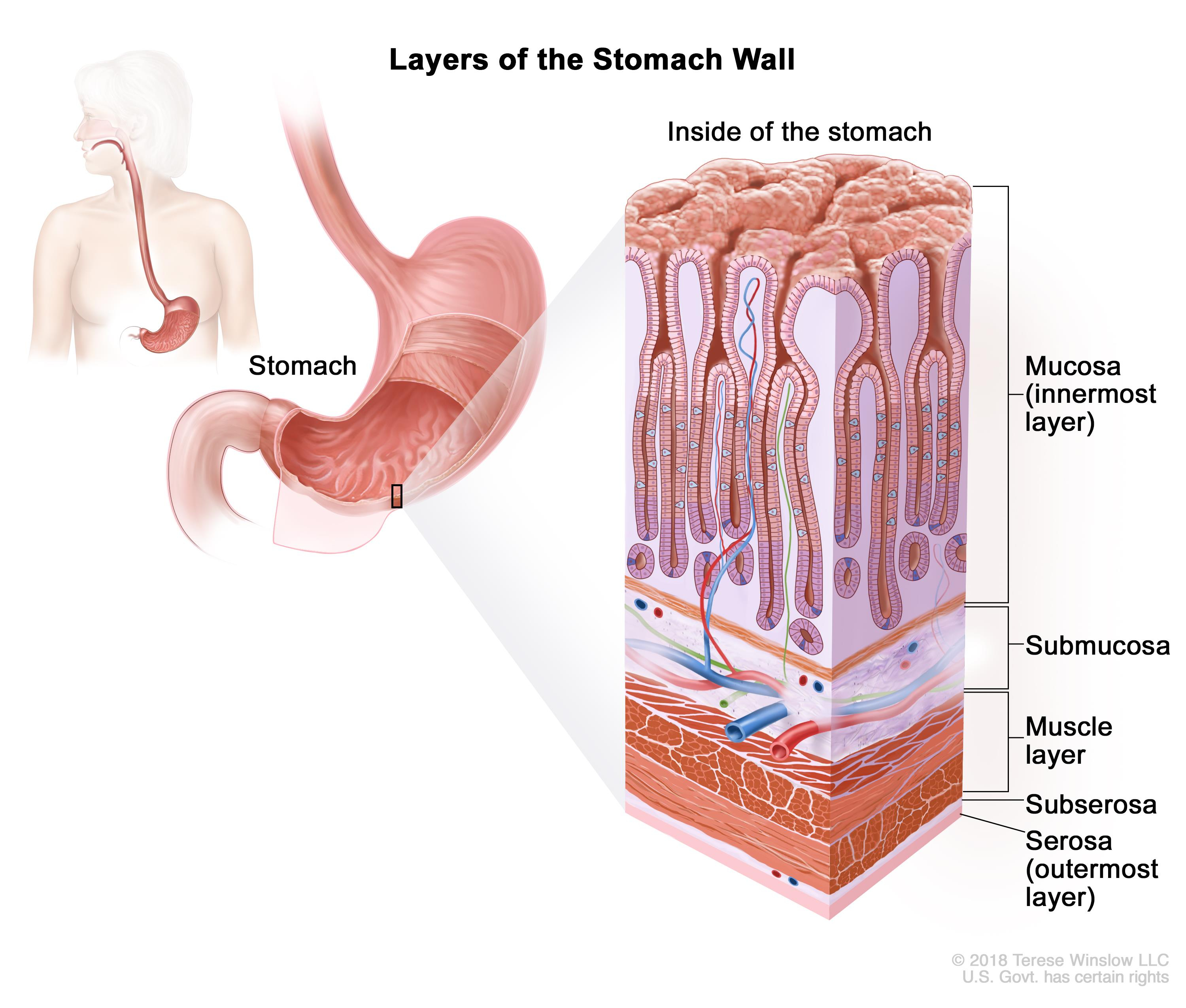 Diagram Of Abdominal Organs General Surgery Stomach Gastric Cancer