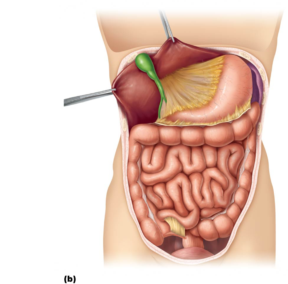 Diagram Of Abdominal Organs