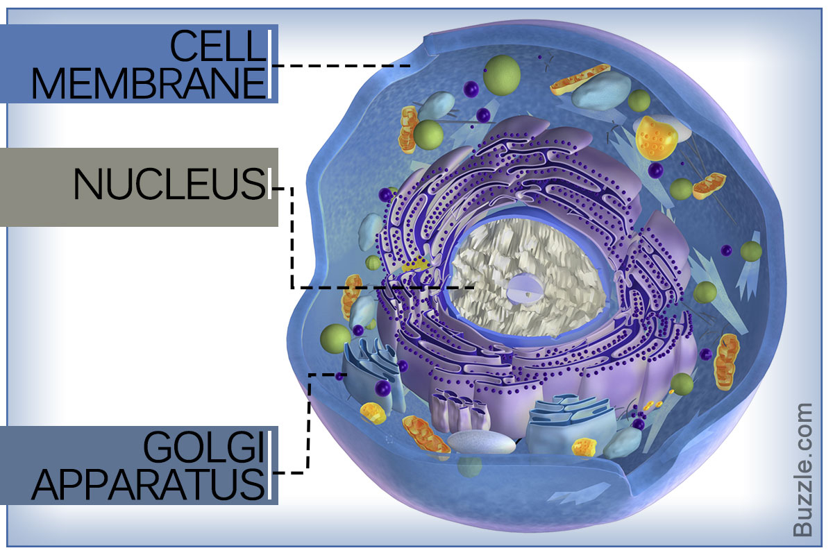 Diagram Of An Animal Cell A Labeled Diagram Of The Animal Cell And Its Organelles