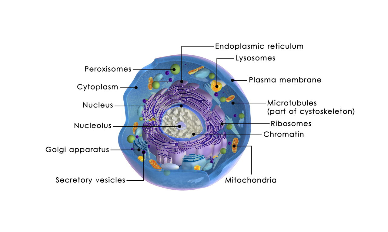 Diagram Of An Animal Cell A Quick Guide To The Structure And Functions Of The Animal Cell