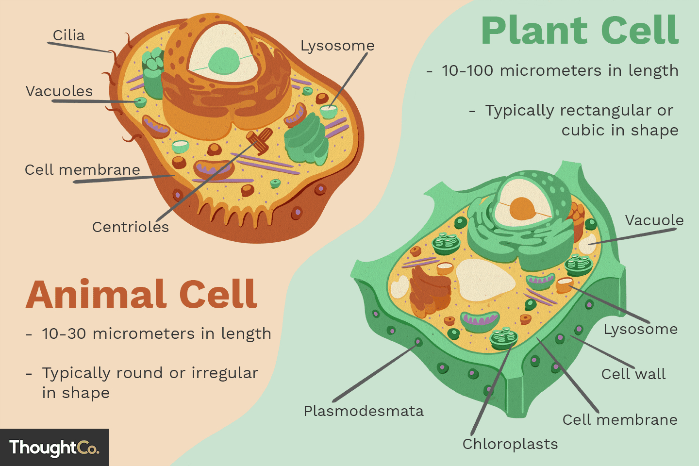 Diagram Of An Animal Cell Differences Between Plant And Animal Cells