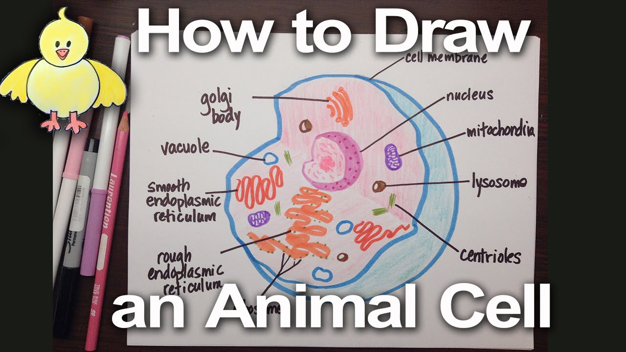 Diagram Of An Animal Cell How To Draw An Animal Cell Diagram Homework Help Doodledrawart
