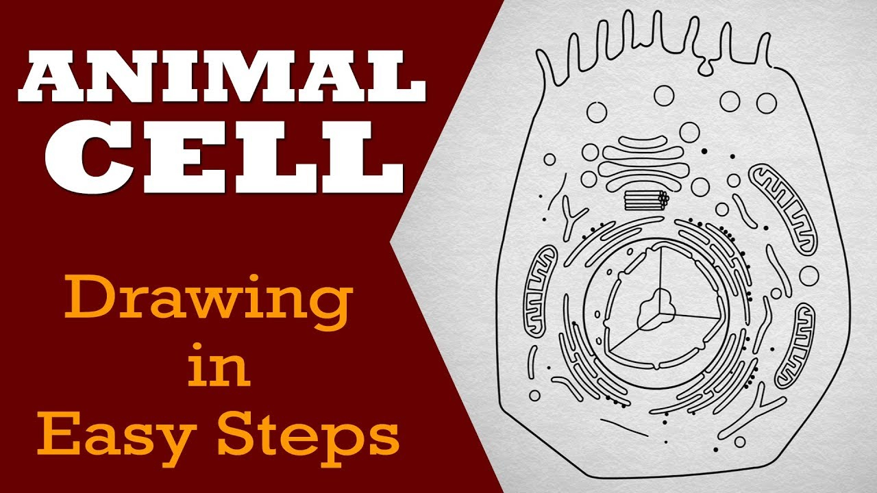 Diagram Of An Animal Cell How To Draw Animal Cell In Easy Steps Fundamental Unit Of Life Ncert Class 9th Biology Science
