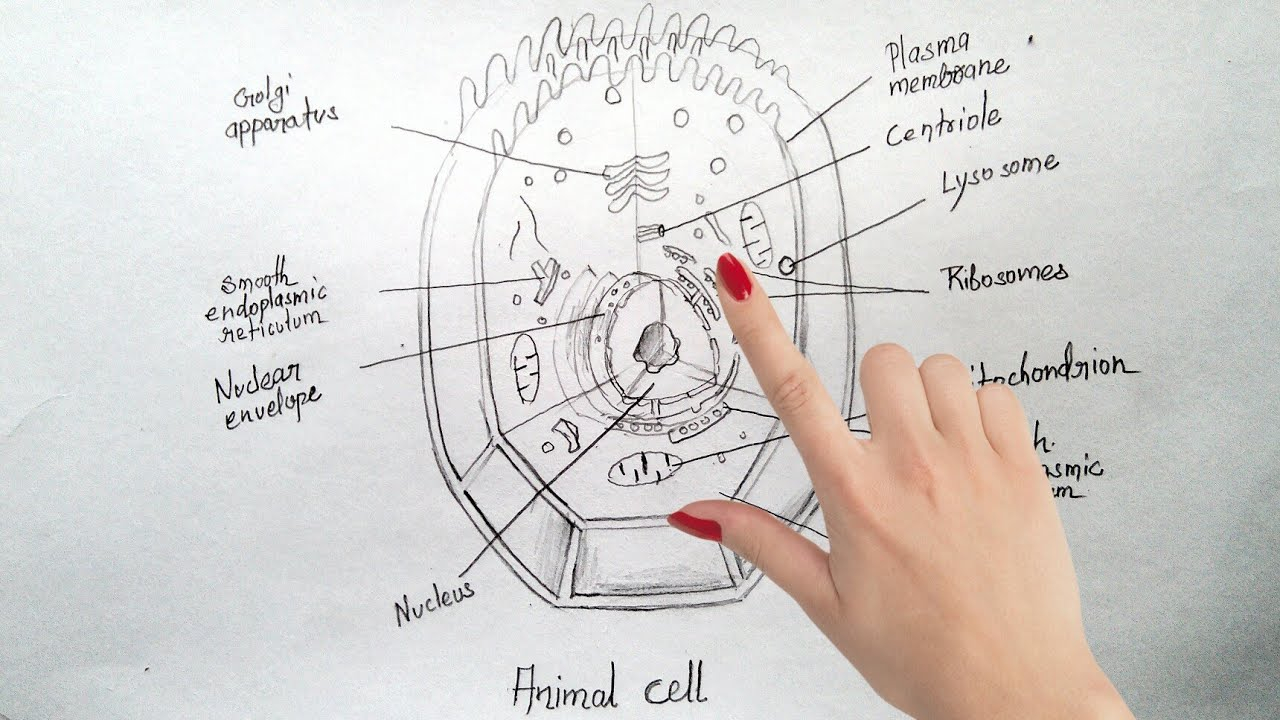 Diagram Of An Animal Cell How To Draw Animal Cell Step Step Tutorial For Beginners