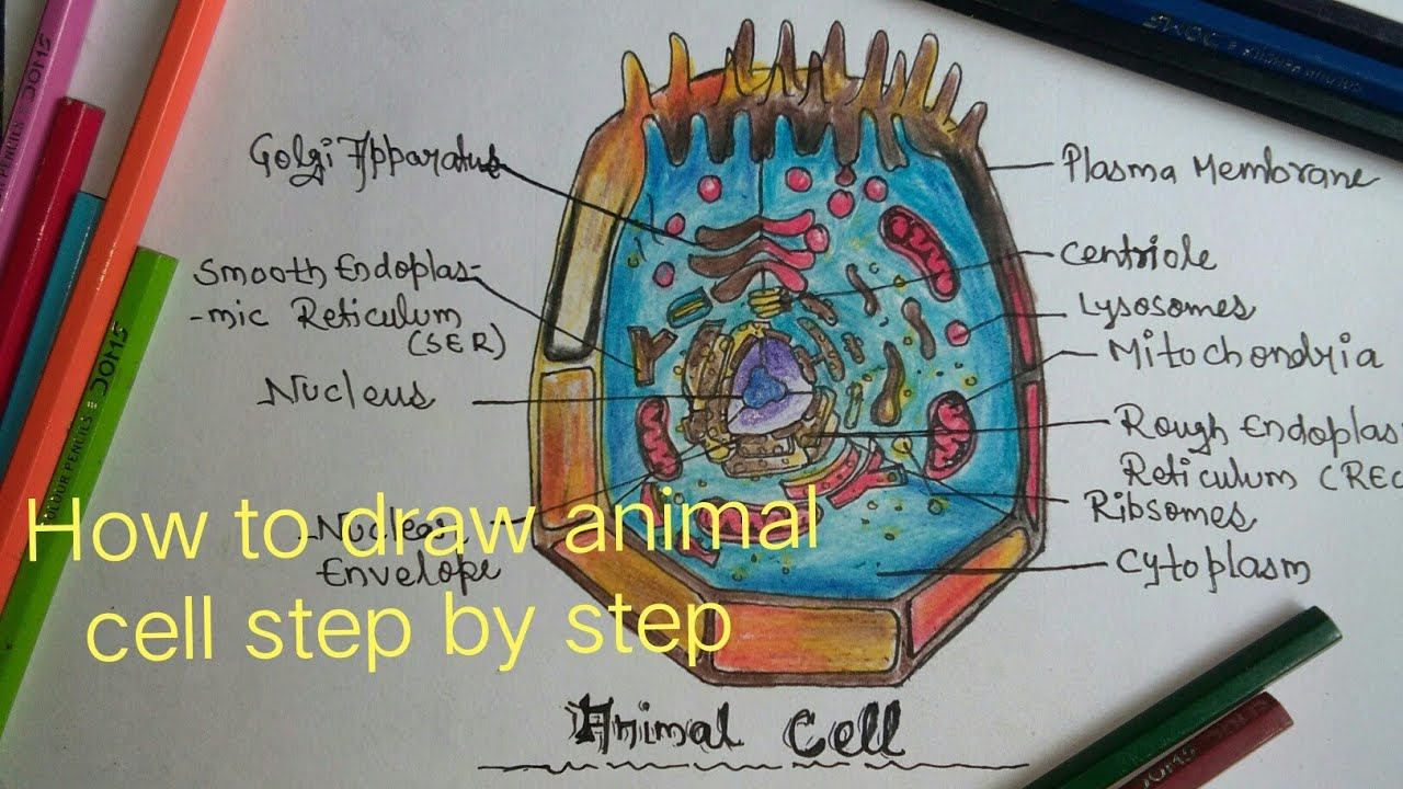 Diagram Of An Animal Cell How To Draw Animal Cell Step Step