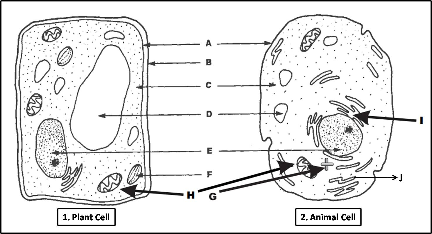 Diagram Of An Animal Cell Plant Cell And Animal Cell Diagram Quiz Biology Multiple Choice
