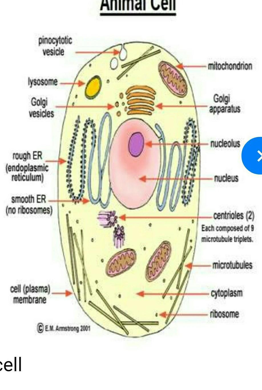 Diagram Of An Animal Cell Write The Diagram Of Animal Cell And Plant Cell And Lebel Its