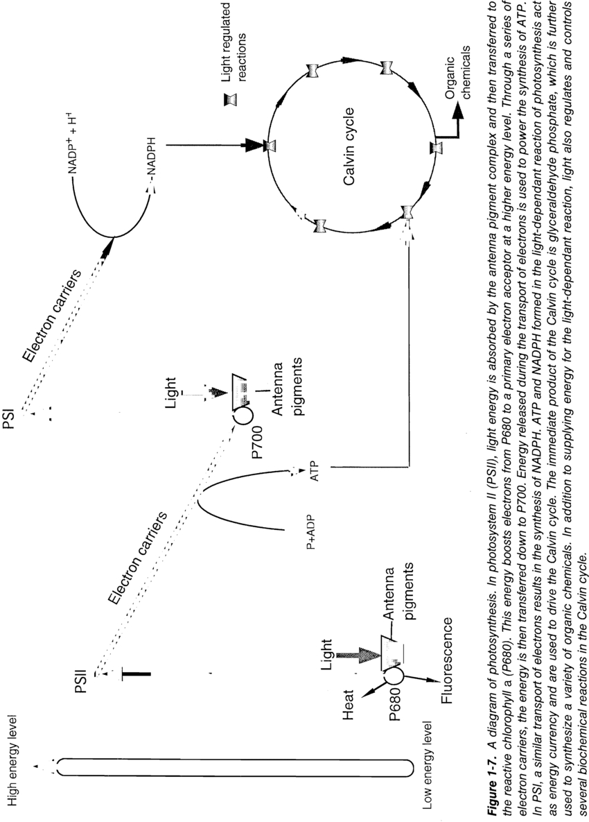 Diagram Of Photosynthesis A Diagram Of Photosynthesis In Photosystem Ii Psii Light Energy